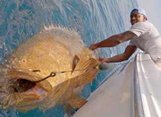 monster goliath groupers sam barrington