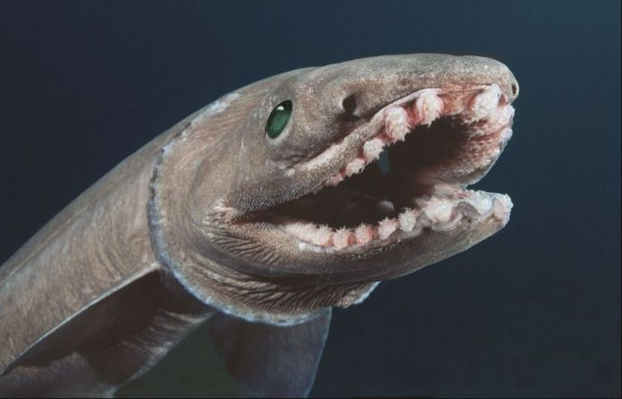 requin lezard